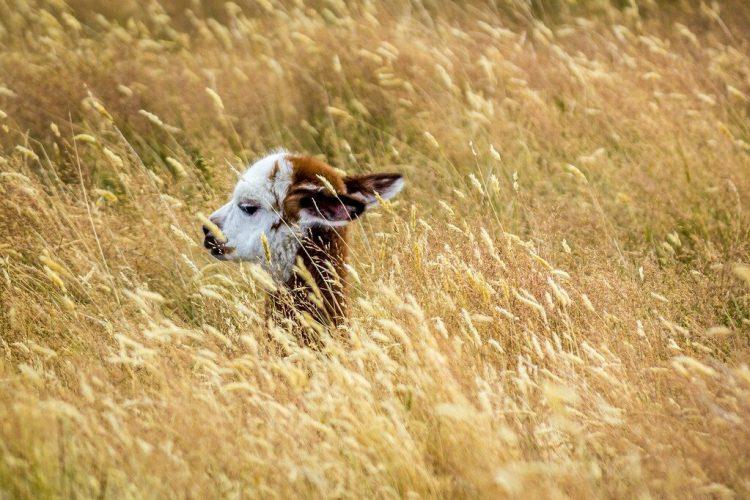 baby alpaca escondida en el pasto