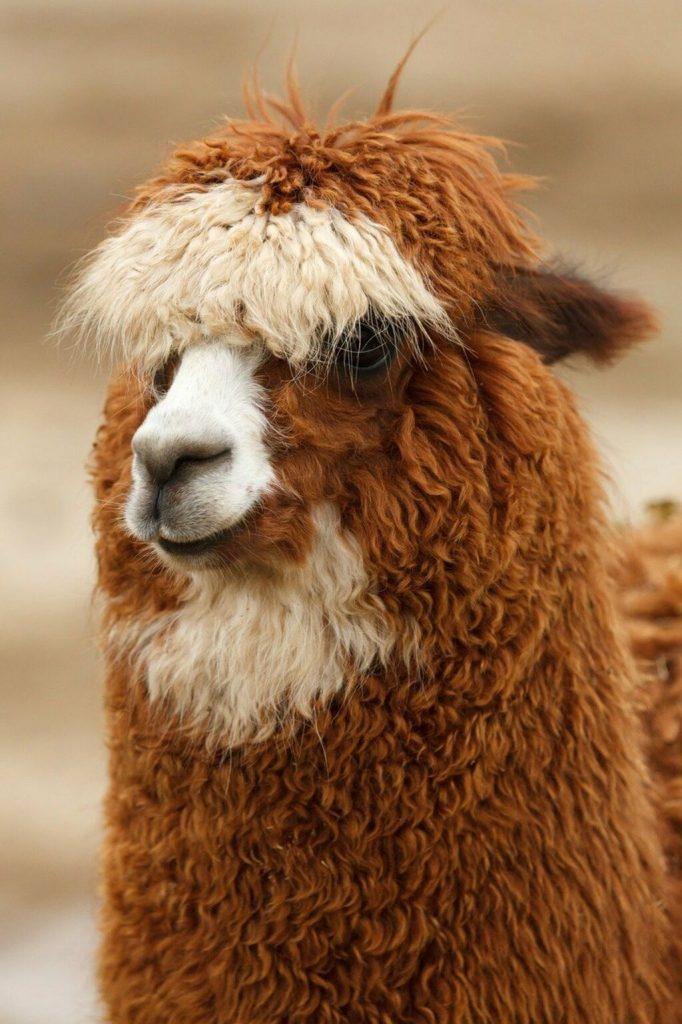Cabeza alpaca andina